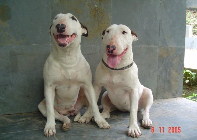 Bull Terrier  - 1991794 400x284 - Nossa Equipe