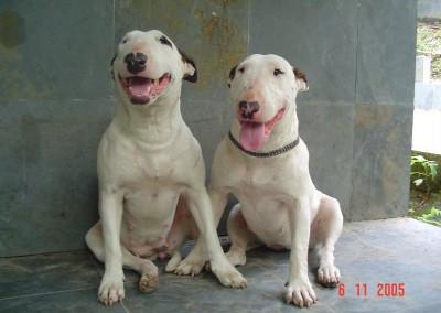 - 19917941 400x284 - Bull Terrier