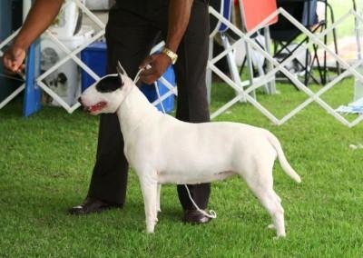 - Bull terrier 400x284 - Bull Terrier