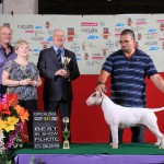 Exposição Especializada de Bull Terrier no Brasil - Mirrinha 2 150x150 - Exposição Especializada de Bull Terrier no Brasil