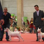 Exposição Especializada de Bull Terrier no Brasil - Mirrinha 3 150x150 - Exposição Especializada de Bull Terrier no Brasil