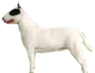 canil em niteroi - bull terrier niteroi rj cachoeiras - Canil em Niteroi