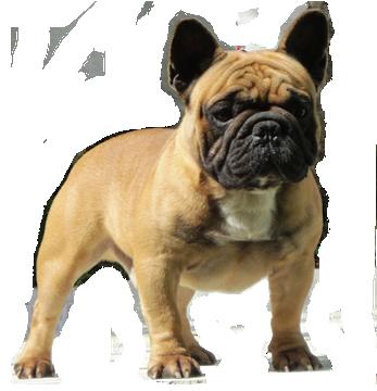 bulldog francês em niterói - bulldog frances niteroi rj canil aguiar adestramento - Bulldog Francês em Niterói