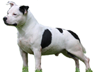 [object object] - staffordshire bull terrier niteroi - Canil em Niteroi