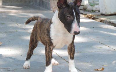 Bull terrier miniatura- Linda ninhada disponível nascida dia 22/04/2016