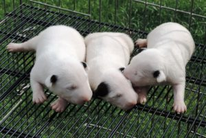 Bull terrier  - Linda ninhada com excelente pedigree nascida em 12/01/2017 - 039 1 300x201 - Bull terrier  – Linda ninhada com excelente pedigree nascida em 12/01/2017