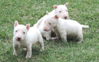 Bull terrier miniatura nova ninhada