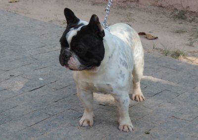 Pai - Whey filhotes de bulldog francês em niterói - 147 400x284 - Filhotes de Bulldog Francês em Niterói RJ