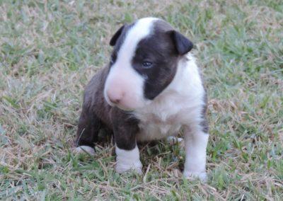 2a bull terrier miniatura - 2a 1 400x284 - Bull Terrier Miniatura em Niterói