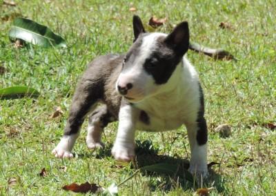 A bull terrier miniatura - A 400x284 - Bull Terrier Miniatura em Niterói