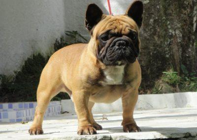 Alpacino bulldog francês em niterói - Alpacino 400x284 - Bulldog Francês em Niterói