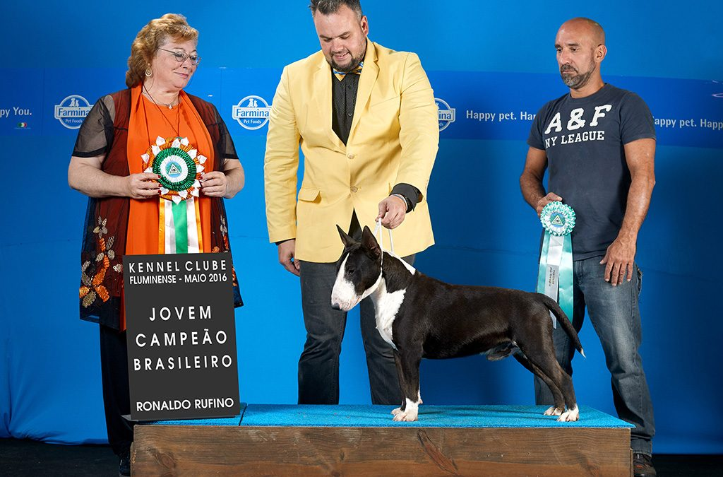 "Texas"em 1º no ranking Brasileiro da raça Bull terrier miniatura da CBKC 2016