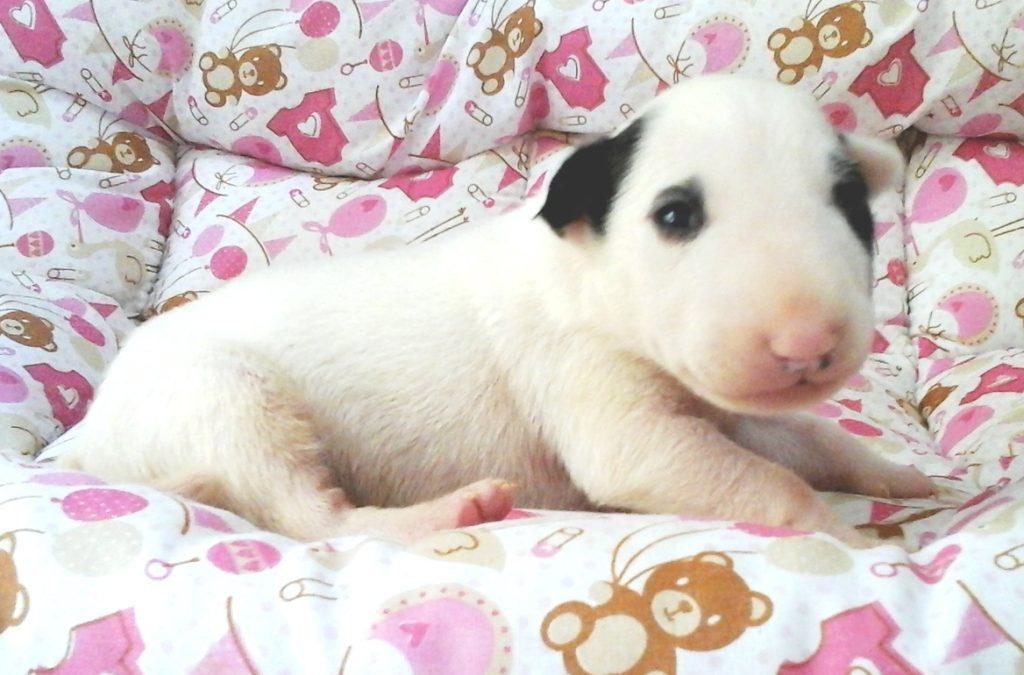 Bull terrier nova ninhada com excelente pedigree nascida em 24/05/2017