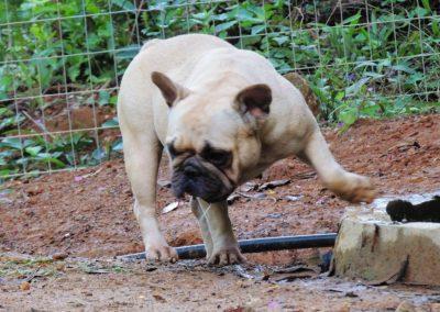 Maitê 1 bulldog francês em niterói - Mait   1 400x284 - Bulldog Francês em Niterói