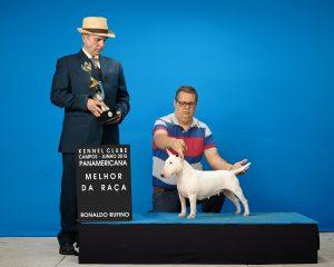 Mãe: Campeã Brasileira e campeã panamericana  - Minnie 1 300x240 - Bull terrier miniatura nova ninhada
