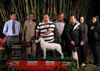 bul-terrier-gigi1 bull terrier niterói - bul terrier gigi1 400x284 - Bull Terrier Niterói