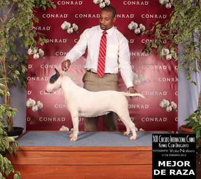 bul-terrier-gigi6 bull terrier niterói - bul terrier gigi6 - Bull Terrier Niterói