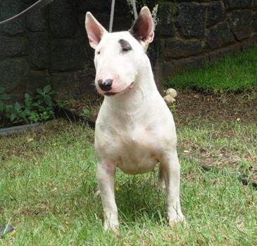 bul-terrier-gigi9