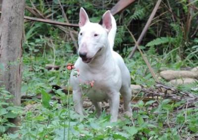 """Minnye"" - Ronda Aguiar Ora Bolas Itapuca bull terrier miniatura - bul terrier mini1 400x284 - Bull Terrier Miniatura em Niterói"