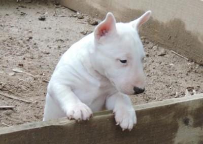 bul-terrier-mini2 bull terrier miniatura - bul terrier mini2 400x284 - Bull Terrier Miniatura em Niterói