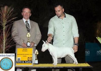 bul-terrier-mini3 bull terrier miniatura em niterói - bul terrier mini3 400x284 - Bull Terrier Miniatura em Niterói