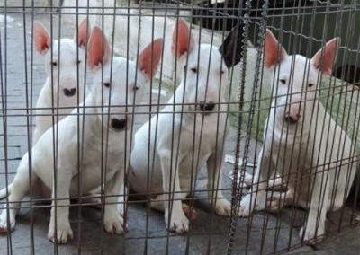 bul-terrier-mini8 bull terrier miniatura - bul terrier mini8 400x284 - Bull Terrier Miniatura em Niterói