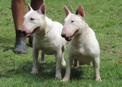 bul-terrier-mini9 bull terrier miniatura - bul terrier mini9 400x284 - Bull Terrier Miniatura em Niterói