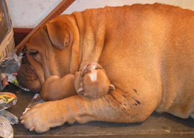 bulldog inglês em niterói - bulldog ingles niteroi12 400x284 - Bulldog Inglês em Niterói