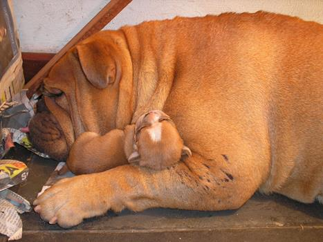 bulldog inglês em niterói - bulldog ingles niteroi12 - Bulldog Inglês em Niterói