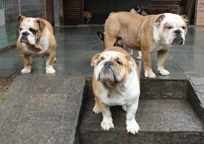 bulldog inglês em niterói - bulldog ingles niteroi2 400x284 - Bulldog Inglês em Niterói
