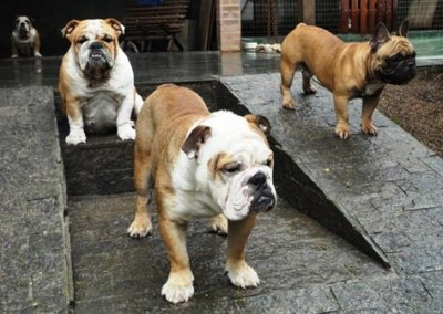 bulldog inglês em niterói - bulldog ingles niteroi4 400x284 - Bulldog Inglês em Niterói