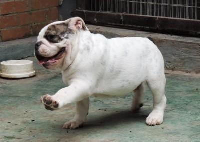 Filhotes De Bulldog Inglês Em Niterói Canil Aguiar
