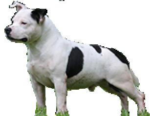 staffordshire bull terrier em niterói - staffordshire bull terrier niteroi - StaffordshireBull Terrier em Niterói