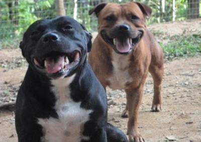 staffordshire-bull-terrier-niteroi6 staffordshire bull terrier em niterói - staffordshire bull terrier niteroi6 400x284 - StaffordshireBull Terrier em Niterói
