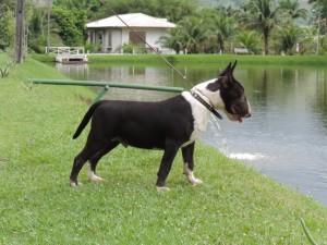 040 Bull terrier miniatura  importado da Polônia filho do campeão mundial - 040 300x225 - Bull terrier miniatura  importado da Polônia filho do campeão mundial