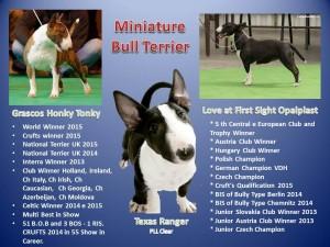 Texas Folder Bull terrier miniatura  importado da Polônia filho do campeão mundial - Texas Folder 300x225 - Bull terrier miniatura  importado da Polônia filho do campeão mundial
