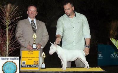 Campeã Brasileira e Panamericana – Bull terrier Miniatura Blog de Notícias - mini 1 400x250 - Blog de Notícias