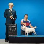 Campeã Brasileira e Panamericana - Bull terrier Miniatura - mini 2 150x150 - Campeã Brasileira e Panamericana – Bull terrier Miniatura