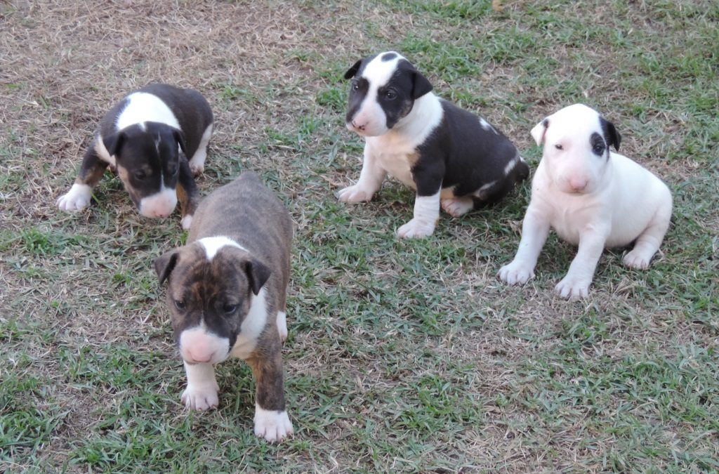 Bull Terrier nova ninhada disponível