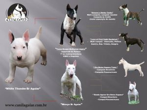 white-thunder  - White Thunder 300x225 - Bull Terrier miniatura – Lindo filhote disponível com excelente pedigree