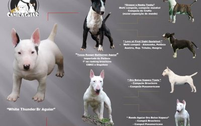 Bull Terrier miniatura – Lindo filhote disponível com excelente pedigree