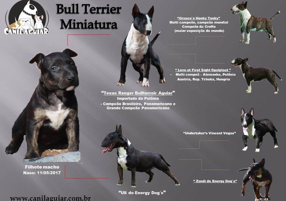 Bull terrier Miniatura ninhada com excelente pedigree disponível