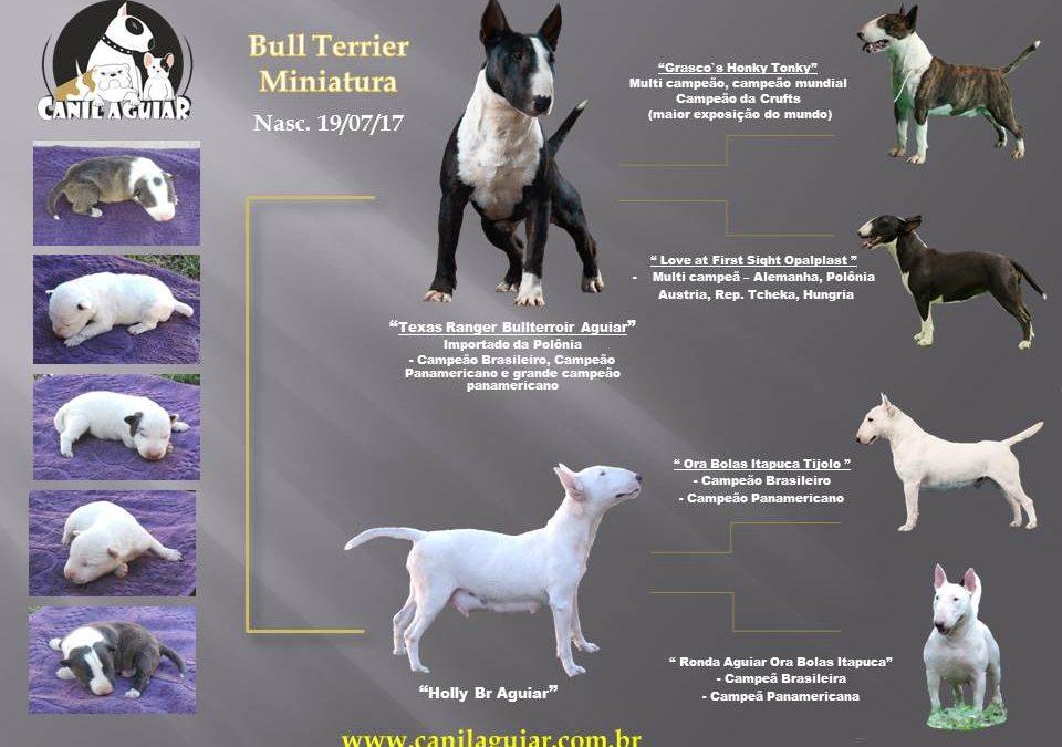 Bull terrier miniatura linda ninhada disponível com excelente pedigree