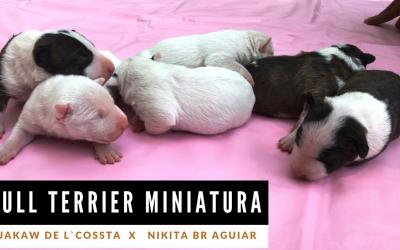 Bull terrier miniatura linda ninhada disponível com excelente pedigree adestramento de cães - Bull terrier miniatura 3 400x250 - Adestramento de Cães – Video Aulas para Cães