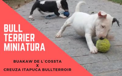 Bull terrier miniatura linda ninhada disponível com excelente pedigree adestramento de cães - Ikigai Sushi and Ramen 1 400x250 - Adestramento de Cães – Video Aulas para Cães