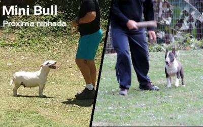 Bull terrier miniatura linda ninhada disponível com excelente pedigree Blog de Notícias - Snapshot 79 400x250 - Blog de Notícias