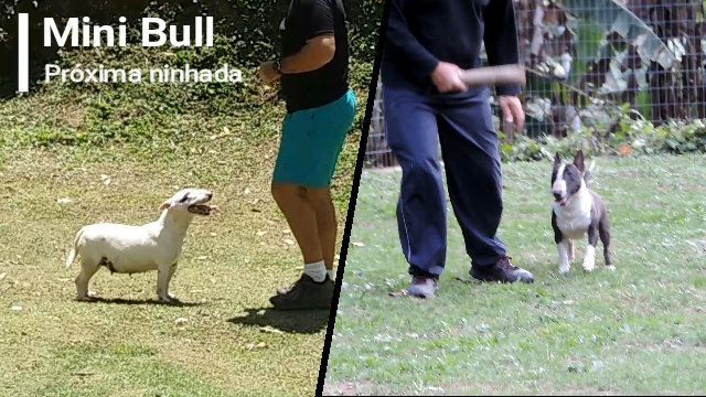 Bull terrier miniatura linda ninhada disponível com excelente pedigree - Snapshot 79 - Bull terrier miniatura linda ninhada disponível com excelente pedigree canil em niteroi - Snapshot 79 - Canil em Niteroi