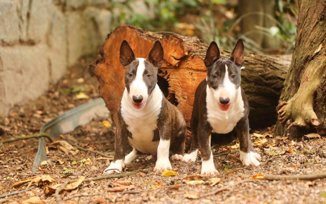 Linda ninhada de Bull terrier miniatura (Minibull) com excelente pedigree nasc. 25/09/19