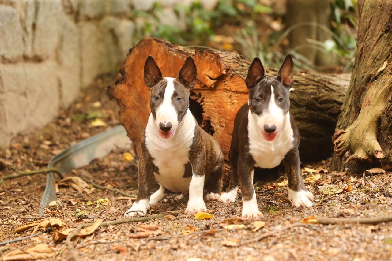 - WhatsApp Image 2020 01 09 at 14 - Linda ninhada de Bull terrier miniatura (Minibull) com excelente pedigree nasc. 25/09/19 canil em niteroi - WhatsApp Image 2020 01 09 at 14 - Canil em Niteroi