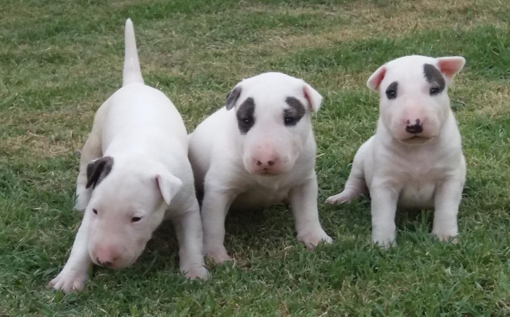 Bull terrier- Nova ninhada disponível com excelente pedigree. Nasc. 26/11/17